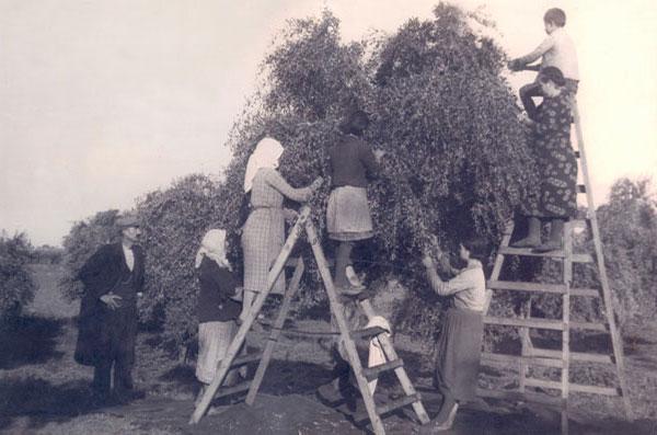Olive Oil Harvesting -The Olive Table - An Olive Oil Harvesting Tradition