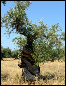 An Old Olive Tree - From the Olive Table Olive Orchid