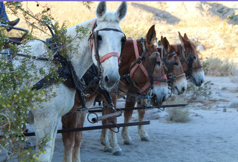 covered wagon tours mules