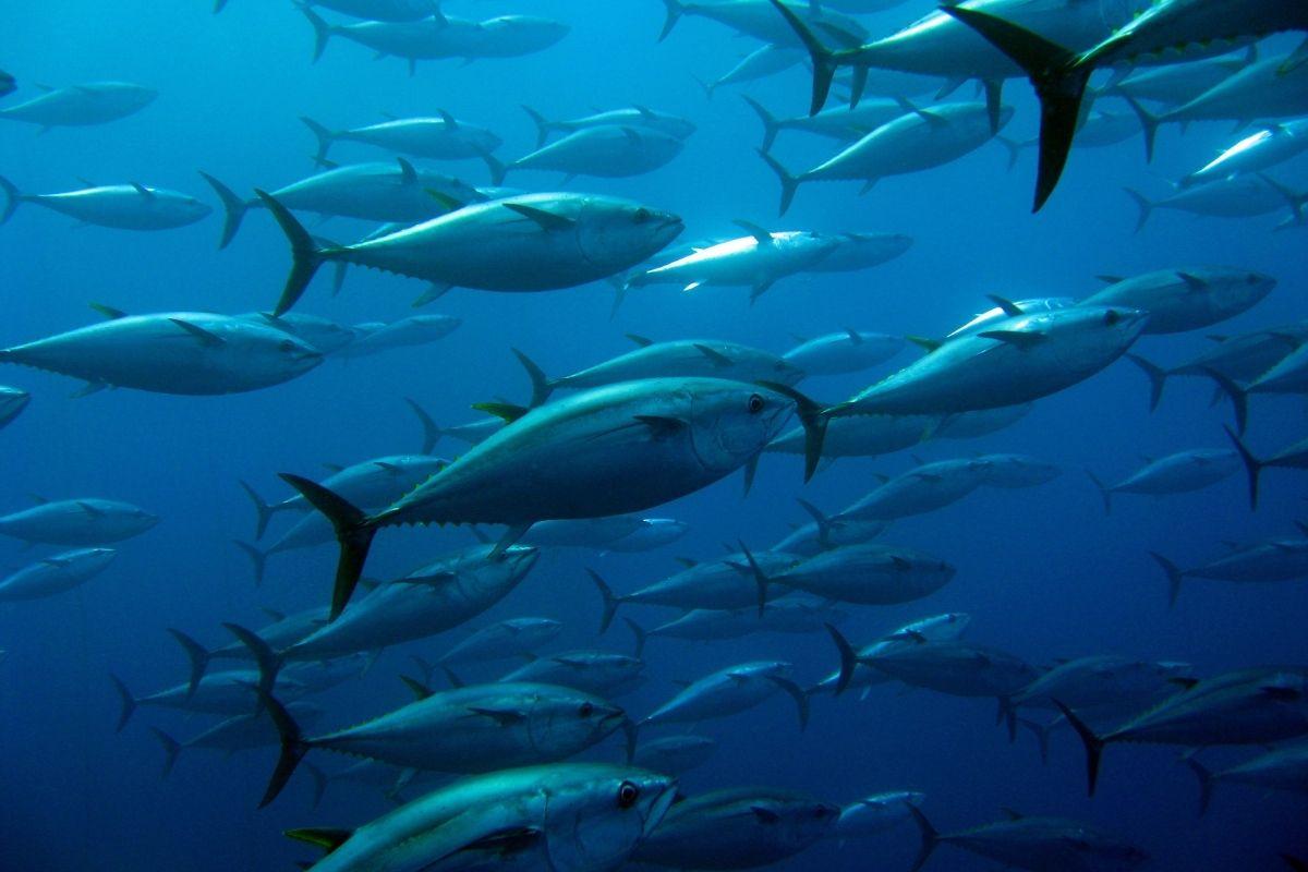 How Long is Tuna Season In The US?