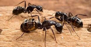 Ants, Carpenter Ants