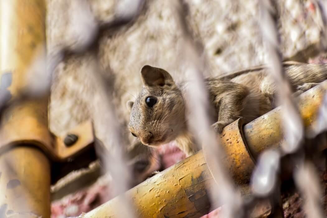 rat control services in surrey