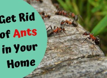 Carpenter Ant Control Surrey BC