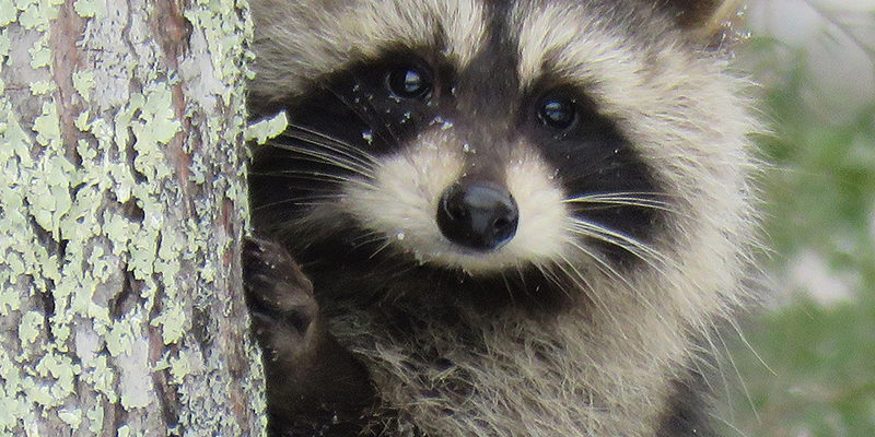 raccoon pest control