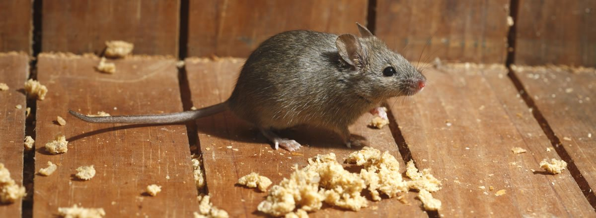 mice-control-near-me-langley-abbotsford-burnaby-portcoquitlam-vancouver-surrey-bc