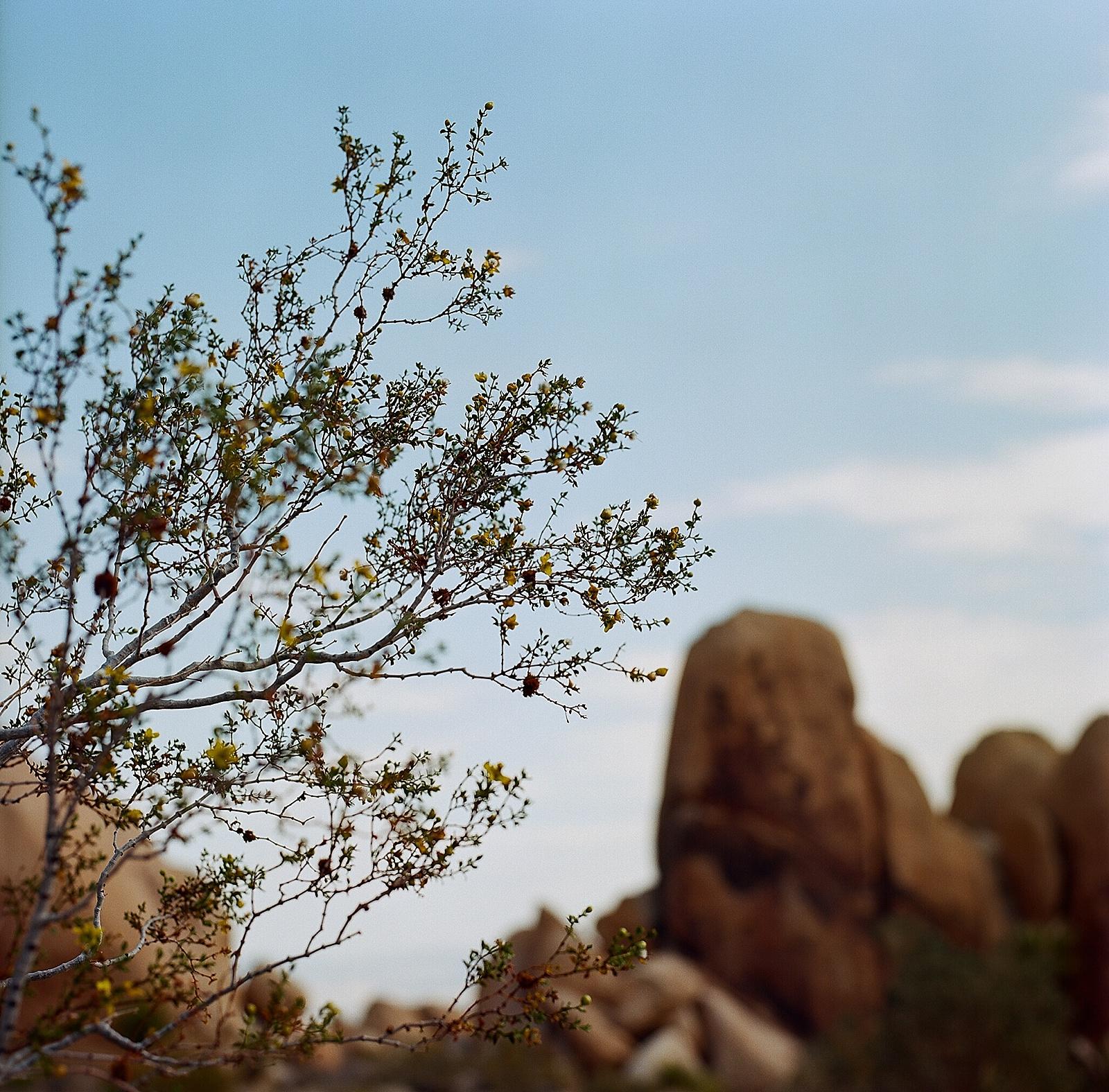 Joshua Tree landscape photography on Ektar film by San Diego portrait photographer Lauren Nygard