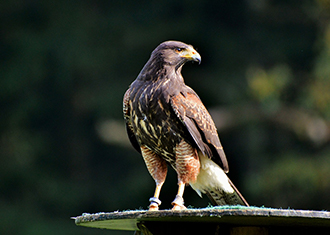 The Peregrine Falcon of Ocean Shores