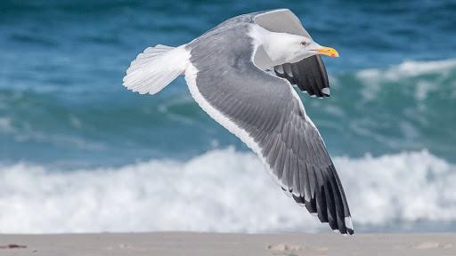 Ocean20Shores_Cold20Weather20Birds_Seagull