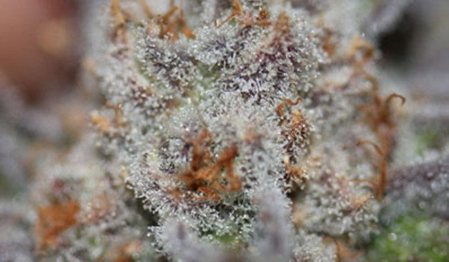 Conspiracy Kush Official Strain Review