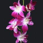 BOM Dendrobium Orchid