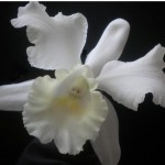 Japhette Orchid