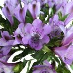 Lavender Alstromeria