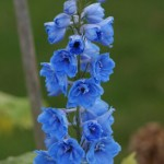 Light Blue Delphinium
