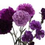 Purple Carnations