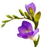 Purple Freesia
