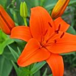 orange_lily