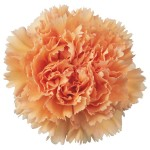 peach-carnation