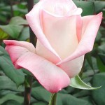 pink-anna-rose