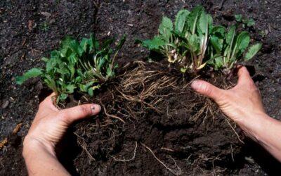 Dividing Perennials – Why, When & How