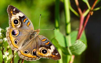 Whole Yard Habitat for Butterflies