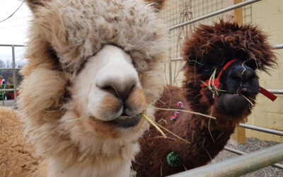 ALPACAS and Small Business Saturday!
