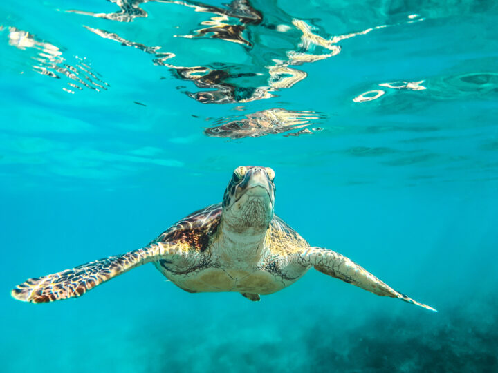 Tortoise could swim faster than walking