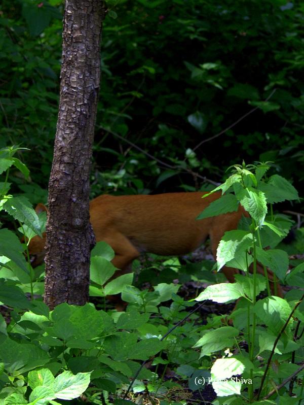 fox in Nagarhole