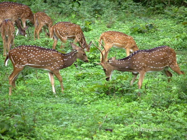 herd of deer - Nagarhole National Park