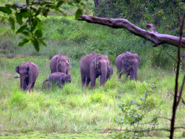 herd of elephants in Nagarhole