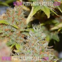 Purple-Caper-(2)
