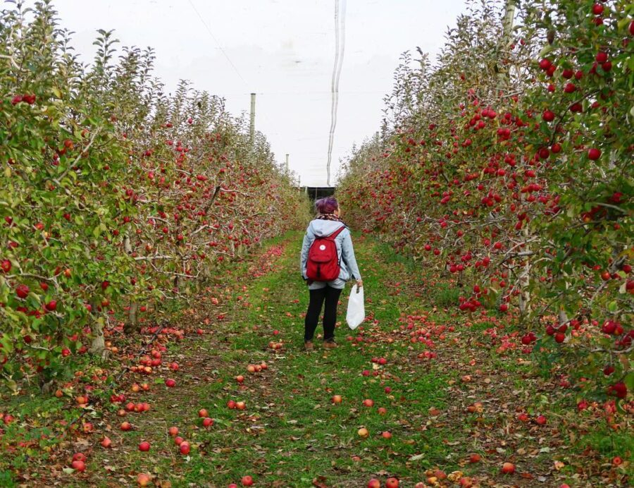 Apple picking bilpin hawkesbury whats on activities to do family sydney winter