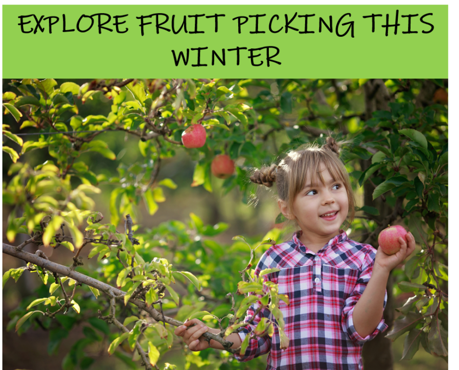 fruit picking in winter bilpin hawkesbury mountains explore whats on western sydney