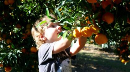 Mandarin picking fruit hawkesbury whats on things to do sydney winter activities family