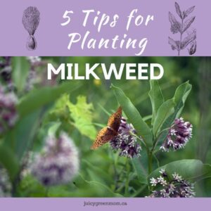 5 Tips for Planting Milkweed juicygreenmom