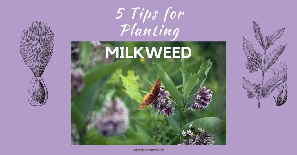 5 Tips for Planting Milkweed juicygreenmom feature