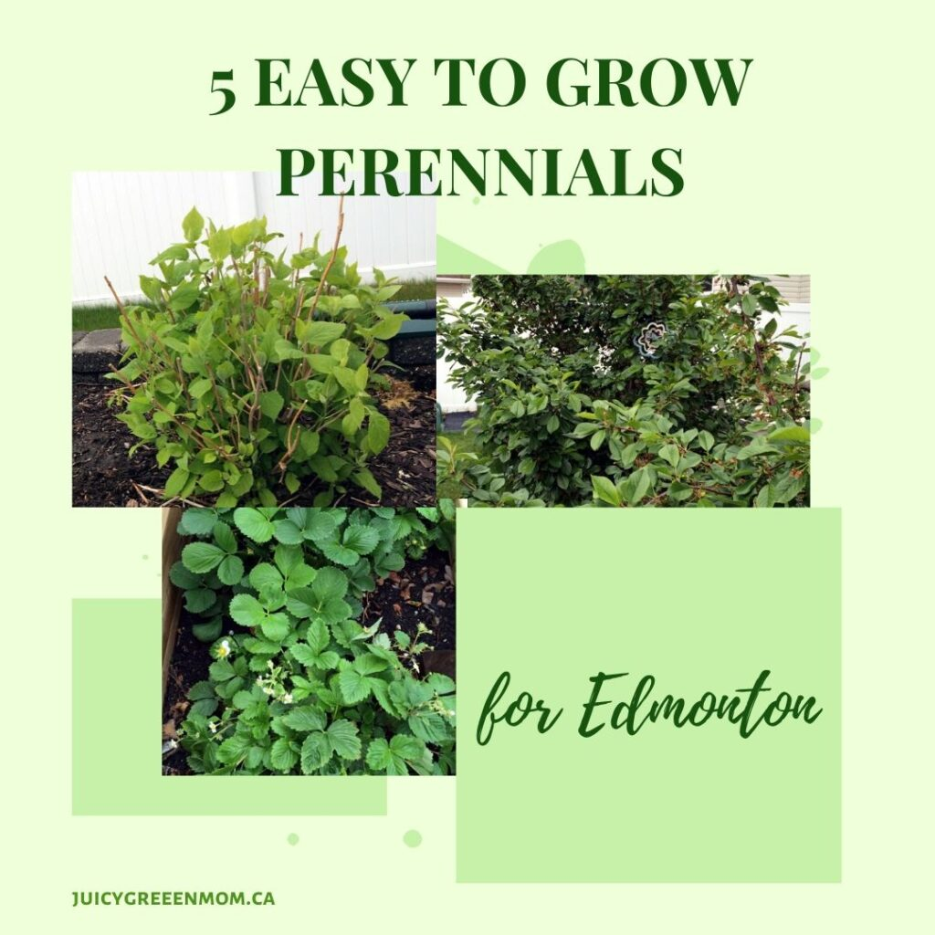 5 easy to grow perennials for Edmonton juicygreenmom IG
