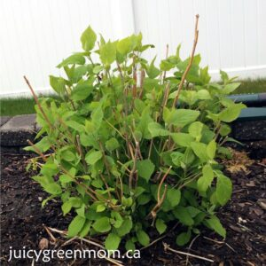 annabelle hydrangeas perennials juicygreenmom