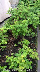 raspberries perennials juicygreenmom