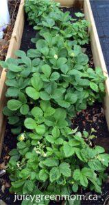 strawberries perennials juicygreenmom