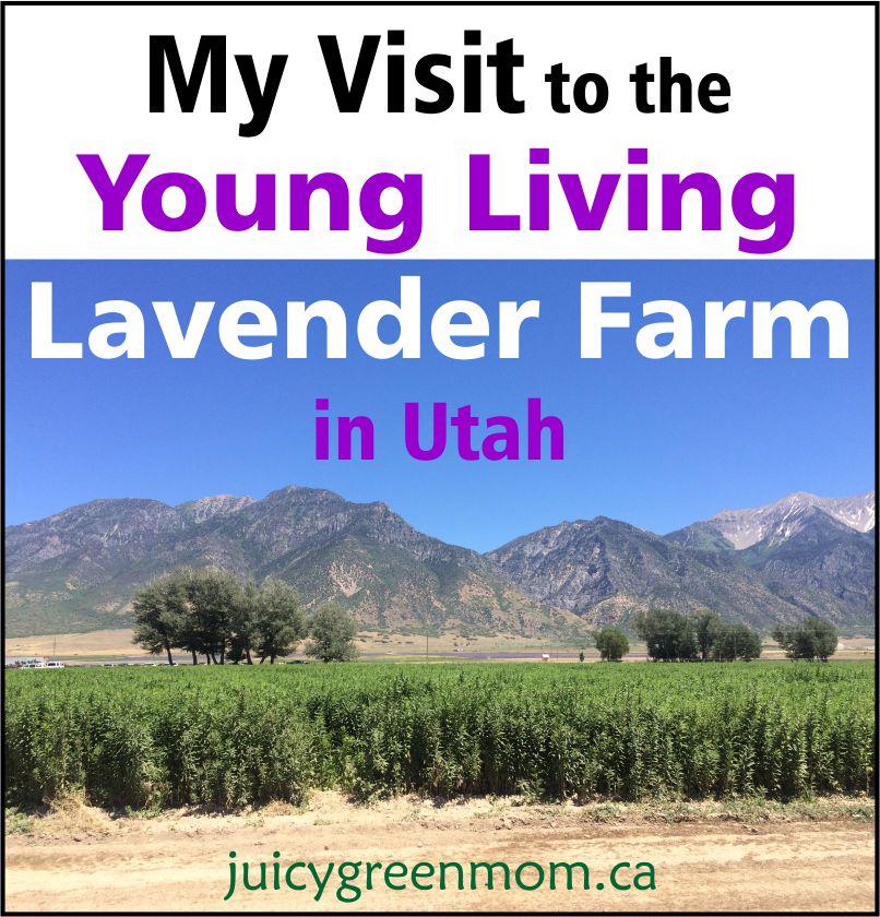 visit Young Living lavender farm in Utah juicygreenmom