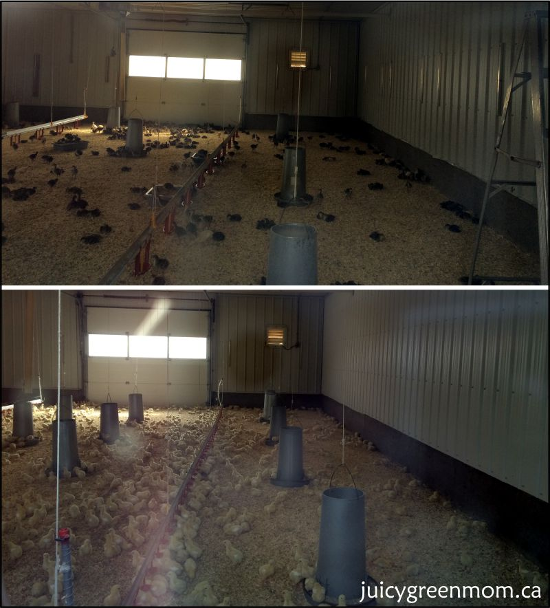 sunworks-organic-farm-family-farm-day-chicks-juicygreenmom