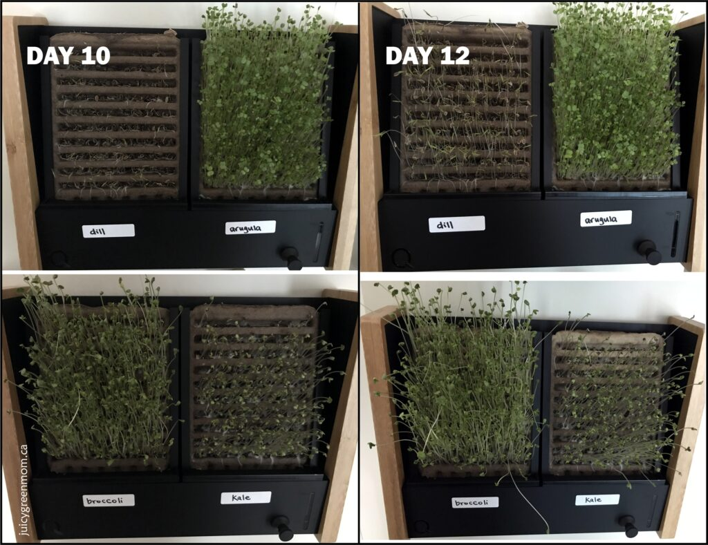 ecoqube frame growing microgreens day 10 and 12 juicygreenmom