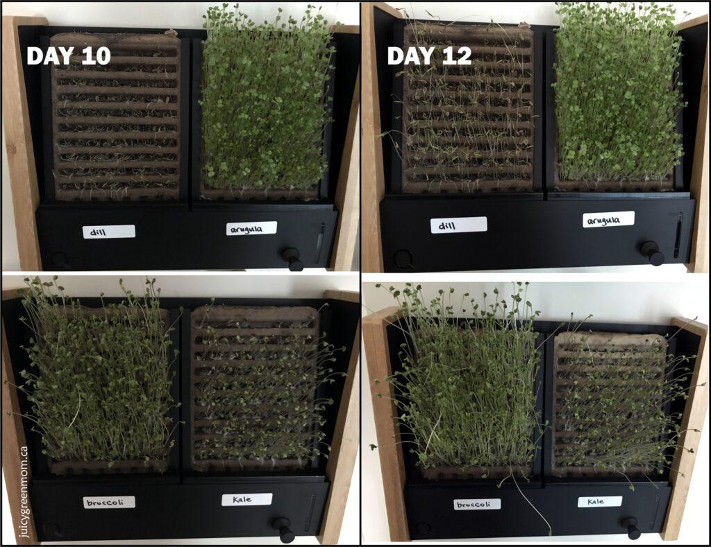 ecoqube frame growing microgreens day 10 and 12 juicygreenmom