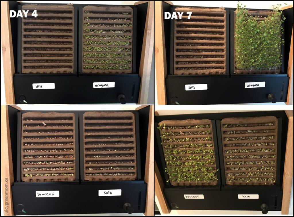 ecoqube frame growing microgreens day 4 and 7 juicygreenmom