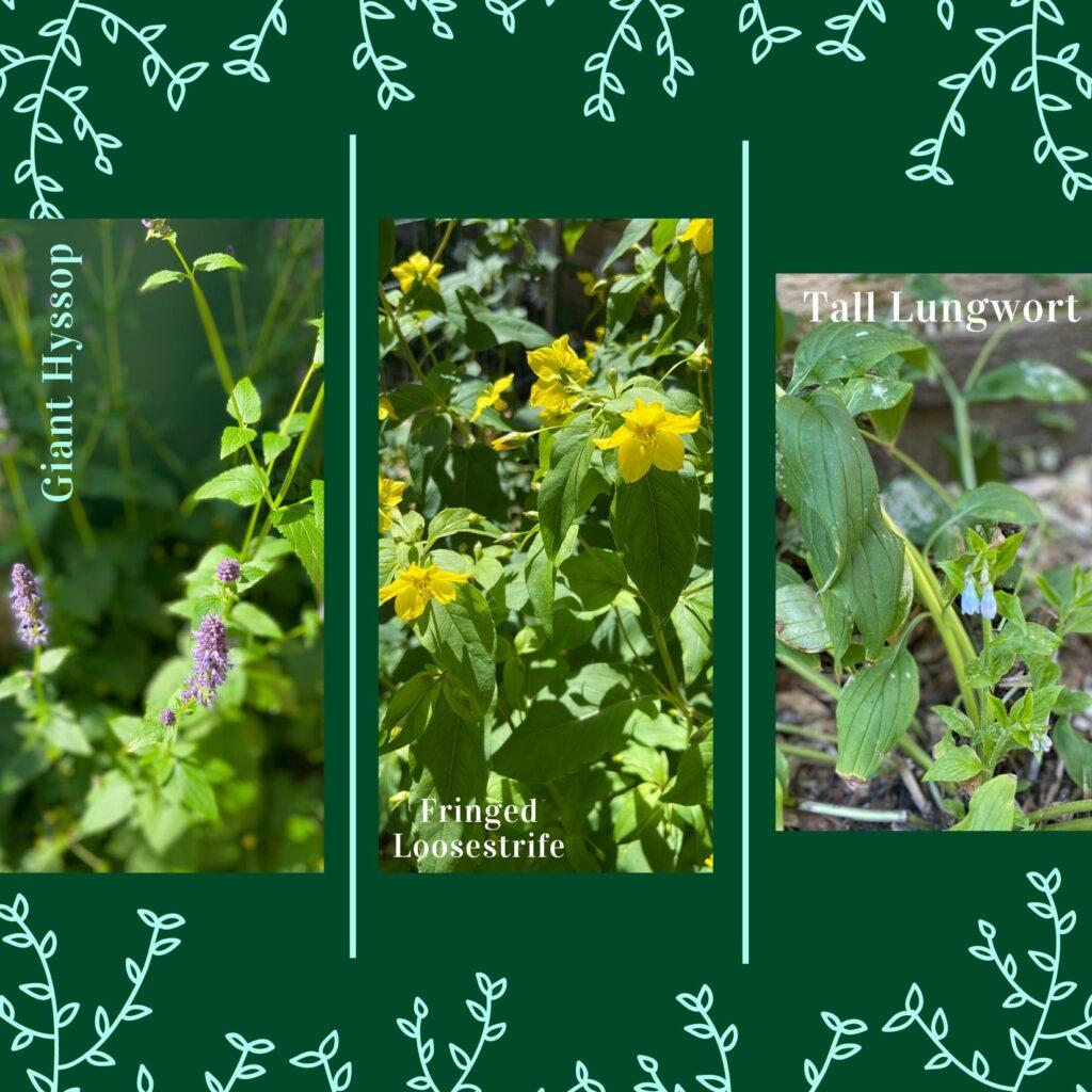 Giant Hyssop loosestrife lungwort native plants butterflyway juicygreenmom