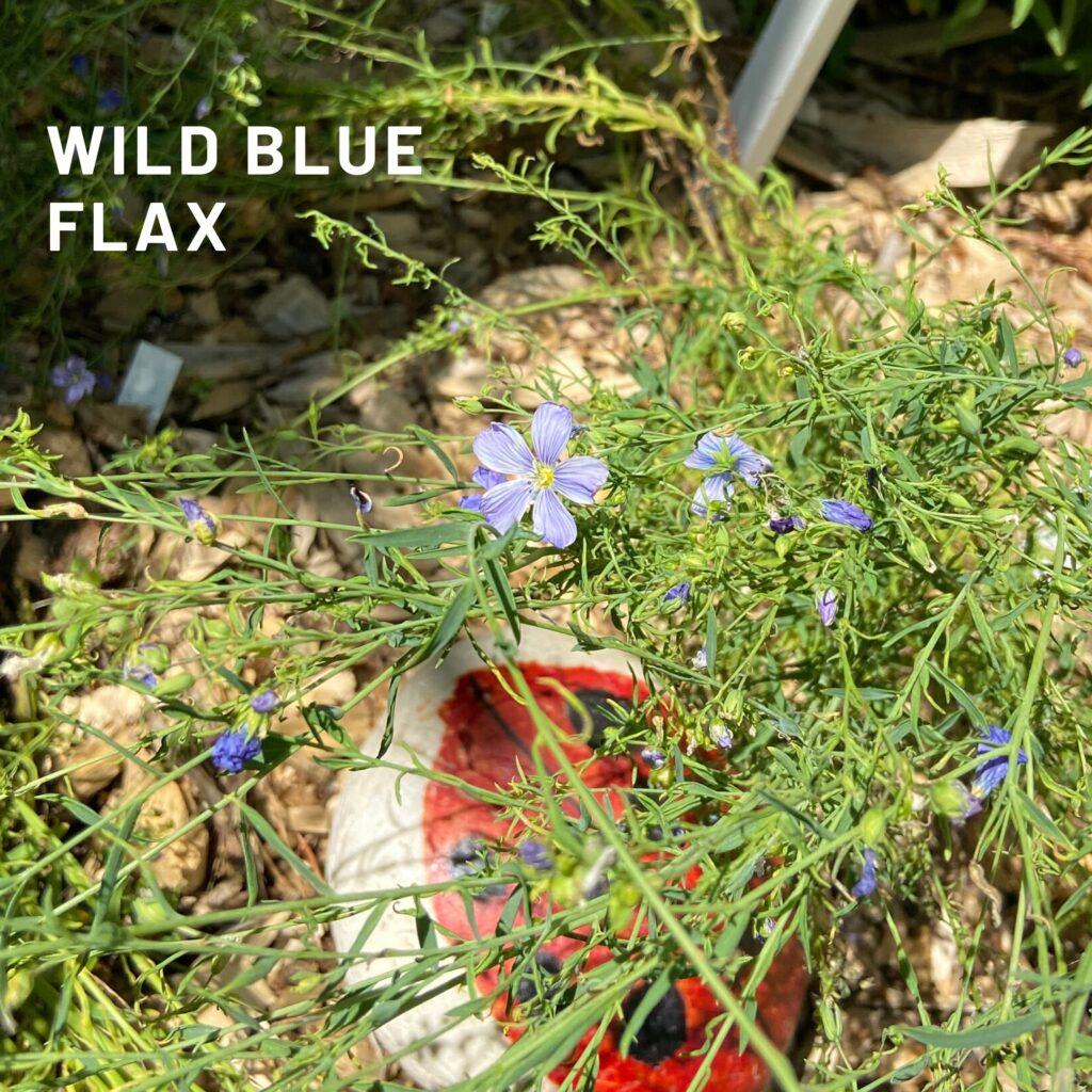 Wild blue Flax native plants butterflyway juicygreenmom