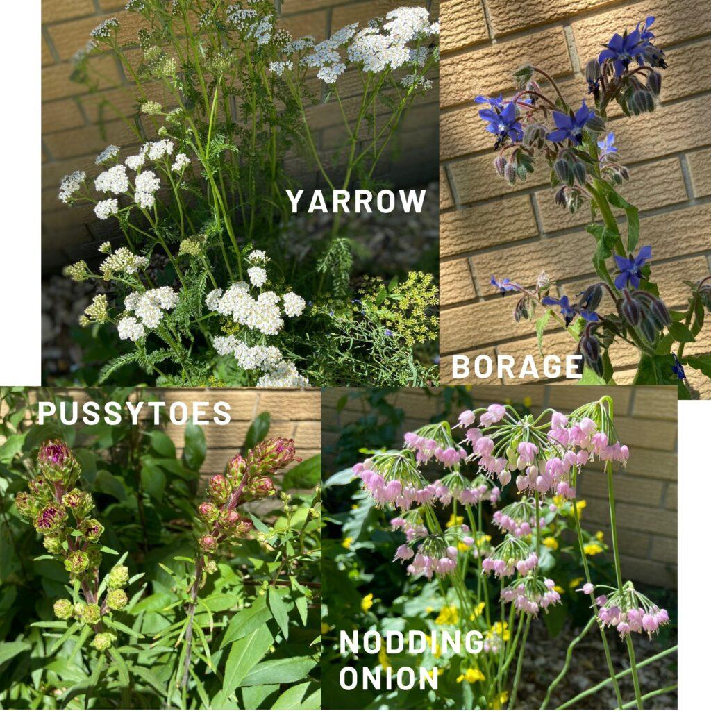 Yarrow borage pussytoes nodding onion native plants butterflyway juicygreenmom