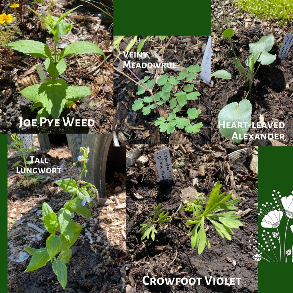 native plants edmonton butterflyway juicygreenmom