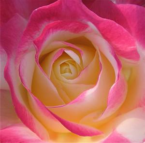 Contact Kimberly Knutsen - Rose