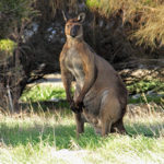 Wester Grey Kangaroo resting